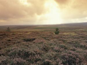 Heather, near Danby, North York Moors, England by Alan Klehr