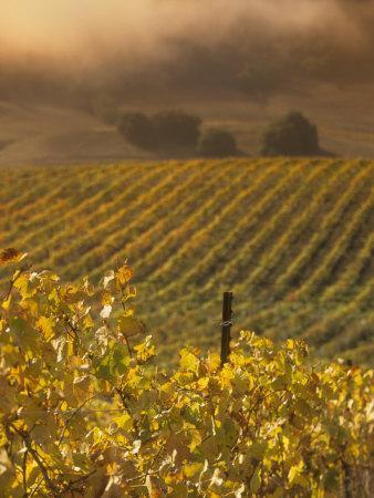 Vineyard in northern California, Sonoma, California, USA