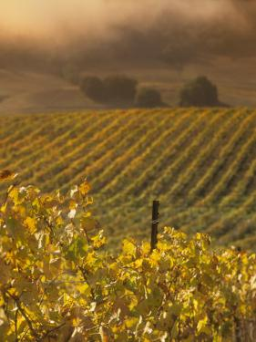 Vineyard in northern California, Sonoma, California, USA by Alan Klehr