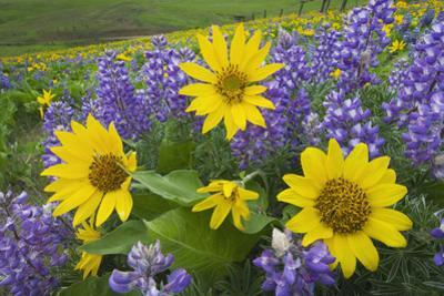 Balsamroot and Lupines, Dalles Mountain Ranch by Alan Majchrowicz