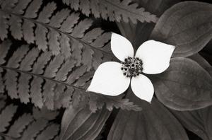 Bunchberry and Ferns II BW by Alan Majchrowicz