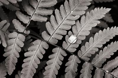 Oak Fern by Alan Majchrowicz