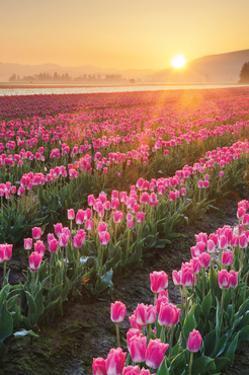 Skagit Valley Tulips II by Alan Majchrowicz