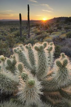 USA, Arizona. Teddy Bear Cholla cactus illuminated by the setting sun, Superstition Mountains. by Alan Majchrowicz