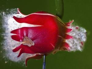 Red Fruit Die by Alan Sailer
