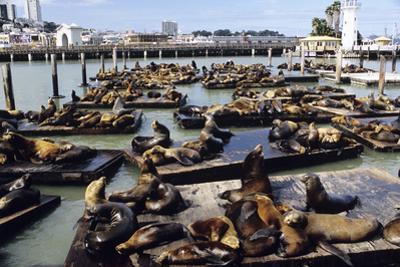 California Sea Lions by Alan Sirulnikoff