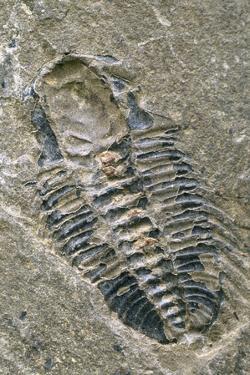 Trilobite Fossil by Alan Sirulnikoff