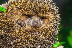 Four-Toed Young Hedgehog, Atelerix Albiventris by Alan64