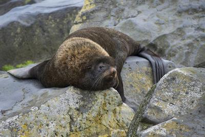 https://imgc.allpostersimages.com/img/posters/alaska-pribilof-islands-saint-paul-northern-fur-seal_u-L-Q1CZT240.jpg?p=0
