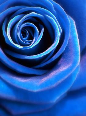 Close-Up of a Blue Rose by Alaya Gadeh
