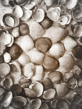 Collected Seashells from the North Sea by Alaya Gadeh