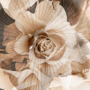 Composing, Blossoms, Rose, Monochrome, Sepia-Coloured by Alaya Gadeh