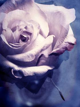 Composing of a Soft Pink Rose Infront of Blue Background by Alaya Gadeh