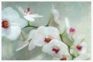 Composing of a White Orchid with Lucent Texture by Alaya Gadeh