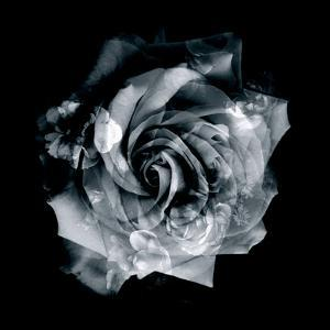 Composing of a White Rose Layered with Blossoms Infront of Black Background by Alaya Gadeh