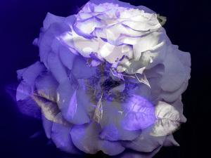 Composing of a White Rose with Purple Tones Infront of Black Background by Alaya Gadeh