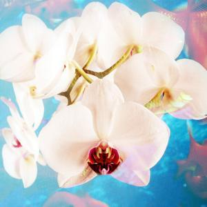Composing with White Orchid Blossoms Infront of Blue Background by Alaya Gadeh
