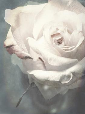 Flower of a White Rose, Texture, Composing by Alaya Gadeh