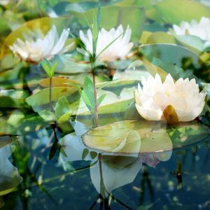 Montage of White Water Lilies by Alaya Gadeh