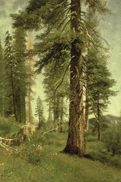 California Redwoods by Albert Bierstadt