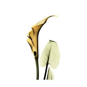 Calla Lilly in Gold by Albert Koetsier