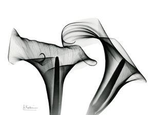 Calla Lily Gray 1 by Albert Koetsier