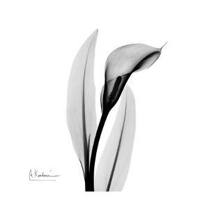 Calla Lily Gray 3 by Albert Koetsier