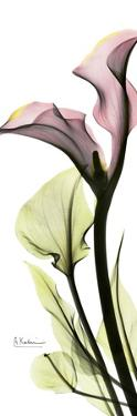 Calla Lily in Color by Albert Koetsier