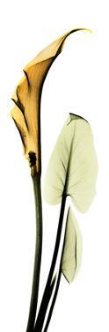 Calla Lily in Gold II by Albert Koetsier