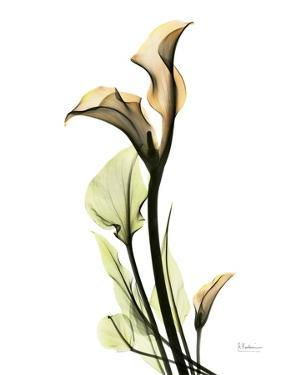 Calla Lily L233 by Albert Koetsier