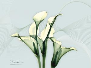 Calla Lily L275 by Albert Koetsier