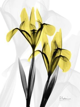 Canary Iris Portrait by Albert Koetsier