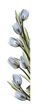 Cascading Tulips by Albert Koetsier