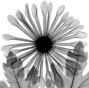Chrysanthemum in Black and White by Albert Koetsier