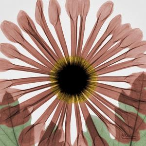 Chrysanthemum Marsala by Albert Koetsier