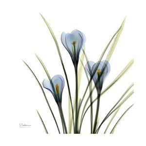 Crocus Whisper by Albert Koetsier