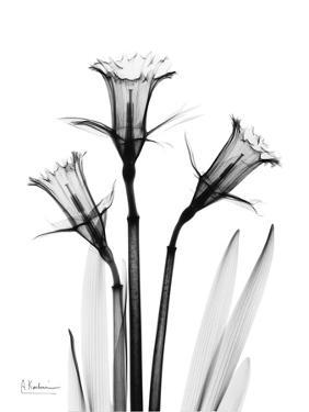 Daffodil Gray by Albert Koetsier