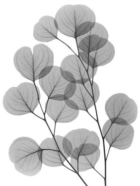 Eucalyptus Bunch by Albert Koetsier