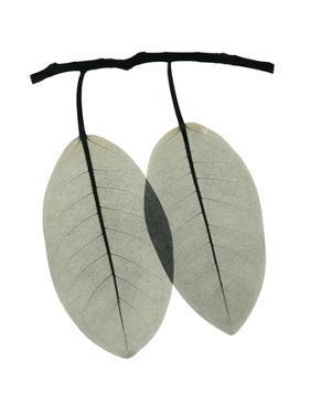 Ficus Involucrata by Albert Koetsier
