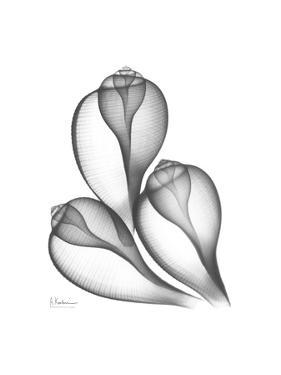 Fig Shells Xray 1 by Albert Koetsier