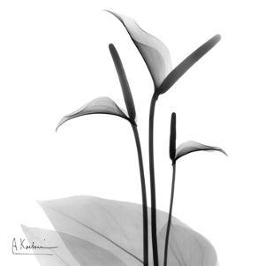 Flamingo Plant Black and White by Albert Koetsier