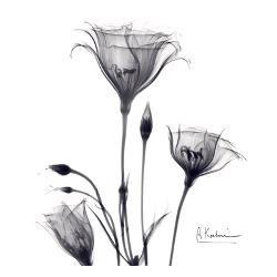 Affordable flowers posters for sale at allposters gentian trio in black and white by albert koetsier mightylinksfo