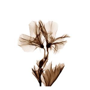Geranium in Sienna by Albert Koetsier