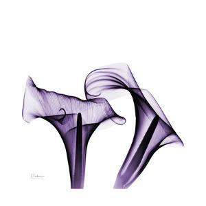 Grape Calla Lilies 1 by Albert Koetsier