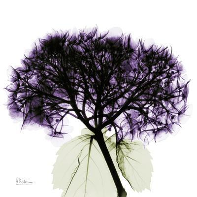 Grape Hydrangea