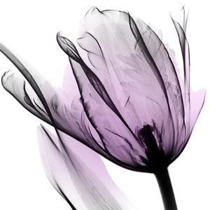 Illuminated Tulip by Albert Koetsier