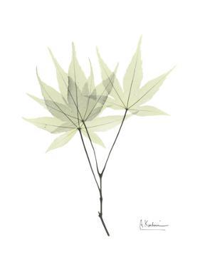 Japanese Maple Portrait by Albert Koetsier