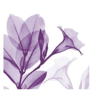 Lavender Mandelilla by Albert Koetsier