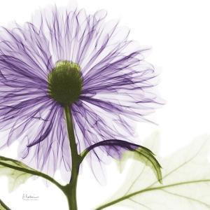 Lavish Purple Chrysanthemum by Albert Koetsier
