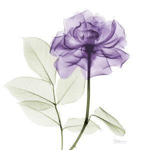 Lavish Purple Rose by Albert Koetsier